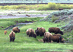 Bison photos in Yellowstone Park
