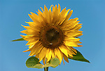 Germany, Baden-Wuerttemberg, Black Forest, single sunflower with two bees