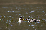 Lake Hodges, Escondido, San Diego, California; the male of a mating pair of Western Grebes (Aechmophorus occidentalis), brings a fish to the mother, with a chick tucked under her feathers, while swimming across the surface of the lake
