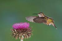 Broad-tailed Hummingbird, Selasphorus platycercus, female in flight feeding on Musk Thistle (Carduus nutans),Rocky Mountain National Park, Colorado, USA, June 2007