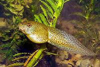 Bullfrog (Lithobates catesbeianus or Rana catesbeiana) (c) Photo of the Tadpole stage of it's developement.