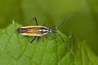 Langhaarige Dolchwanze, Graswanze, Leptopterna dolabrata, meadow plant bug, Miridae, Weichwanze, Weichwanzen