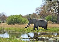African Elephant grazing  in the Okavango Delta beside a cool stream.African Elephant grazing  in the Okavango Delta beside a cool stream.  Botswana Africa.