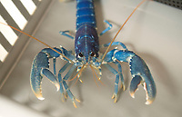 BNPS.co.uk (01202) 558833. <br /> Pic: Zachary Culpin/BNPS<br /> <br /> Pictured: A lobsters shows off his claws in the hatchery<br /> <br /> Hatch of the day...<br /> <br /> A British lobster hatchery is celebrating sending over 275,000 hatchlings back into the wild having given them a better chance of survival.<br /> <br /> The National Lobster Hatchery has spent the last 21 years nursing baby lobsters through their vulnerable life stages before releasing back into the wild.<br /> <br /> The pandemic has hit release numbers, with the hatchery running on skeleton staff due to Covid restrictions, but they have still managed to release thousands in the last year.