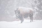 USA, Wyoming, Yellowstone National Park, American bison (Bison bison)