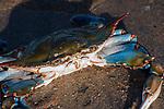 Blue crab resting on sand beach at low tide, medium shot.