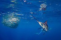 striped marlin, Kajikia audax, chasing down sardine that has become separated from baitball of sardines or South American pilchards, Sardinops sagax, off Baja California, Mexico, Pacific Ocean, #1 in sequence of 3 images
