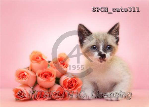 Xavier, ANIMALS, cats, photos(SPCHcats311,#A#) Katzen, gatos