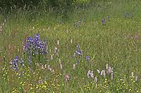 Wiese, Feuchtwiese, Blumenwiese, Bunt und vielfältig blühend mit Sibirsche Schwertlilie, Iris sibirica, Schlangen-Knöterich, Wiesen-Knöterich, Polygonum bistorta, Bistorta officinalis, Kuckucks-Lichtnelke, Silene flos-cuculi, Hahnenfuß, Sauerampfer