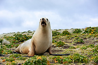 New Zealand Sea Lion (Phocarctos hookeri) resting in the grass on Enderby Island in the Aukland Islands, New Zealand.