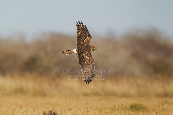 Northern Harrier (Circus cyaneus) adult in flight, Bosque del Apache National Wildlife Refuge , New Mexico, USA