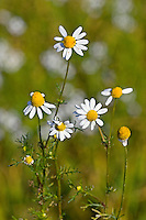 Echte Kamille, Matricaria recutita, Syn. Chamomilla recutita, Matricaria chamomilla, German Chamomile, wild chamomile, scented mayweed