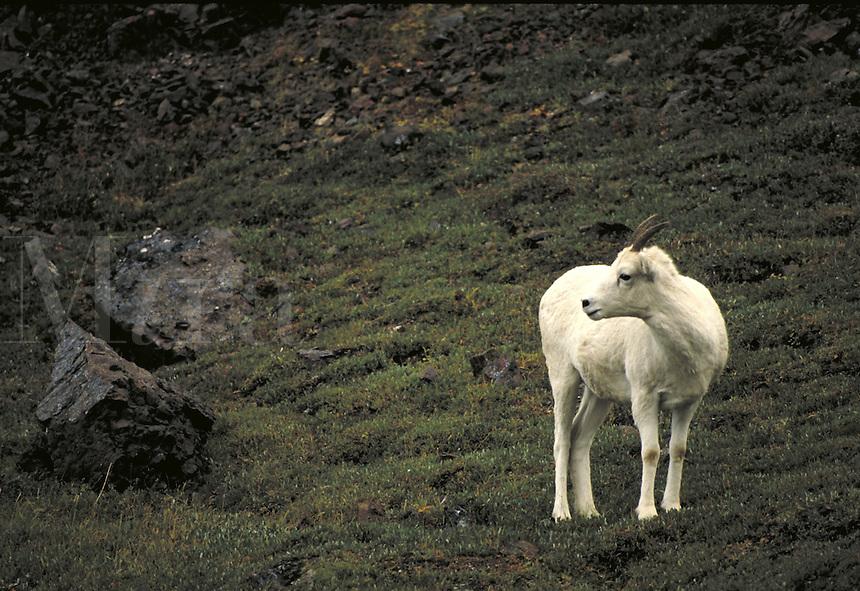 Dall sheep ewe. Alaska USA Denali National Park.