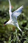 Endangered Roseate tern in flight, vertical.