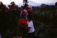Picking flowers for Day of the Dead celebration, workers begin at sunrise and work until dark. A young boy picks Terciopelo with his family in the shadow of Popocatepetl volcano.