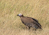 Lappet-faced Vulture, Torgos tracheliotus, in Maasai Mara National Reserve, Kenya