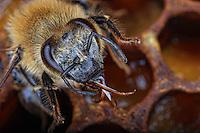 Close-up of the head of a bee.///Gros plan de la tête d'une abeille.