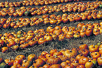 Large rows of pumpkins , harvested and ready for shipping, still in the field. Hundreds of pumpkins.