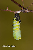 MO06-549z  Monarch forming a Chrysalis - Danaus plexipuss...