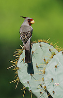 Pyrrhuloxia, Cardinalis sinuatus,male on Texas Prickly Pear Cactus (Opuntia lindheimeri), Starr County, Rio Grande Valley, Texas, USA