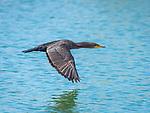 Cormorant in flight.
