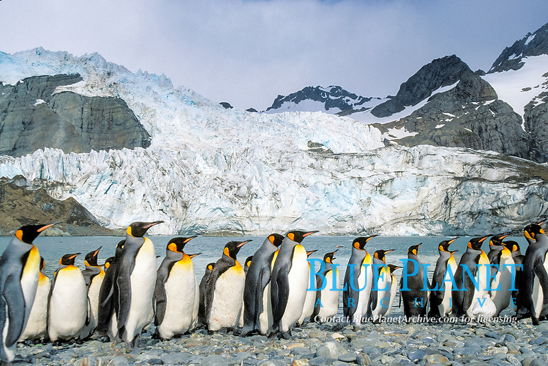 king penguins, Aptenodytes patagonicus, South Georgia Island, U.K., Atlantic