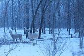 Deer In Snowy Wood