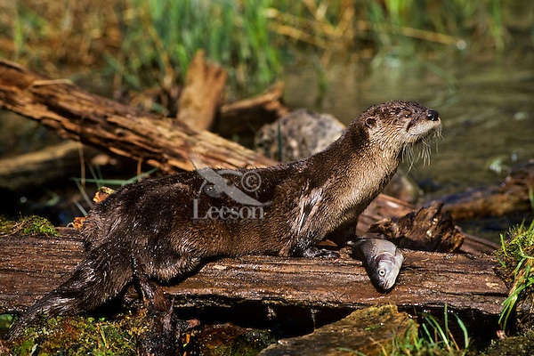 North American River Otter (Lontra canadensis) feeding on a rainbow trout.  Western U.S.