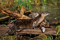 North American River Otter (Lontra canadensis) feeding on a rainbow trout.  Western U.S.