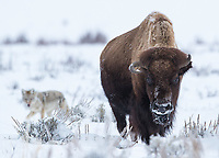 Two of the heartier animals found during Yellowstone's harsh winters.