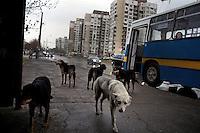 Bulgaria: Stray Dogs in Sofia - 2012