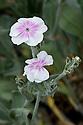 Rose campion (Lychnis coronaria var. oculata), mid June.