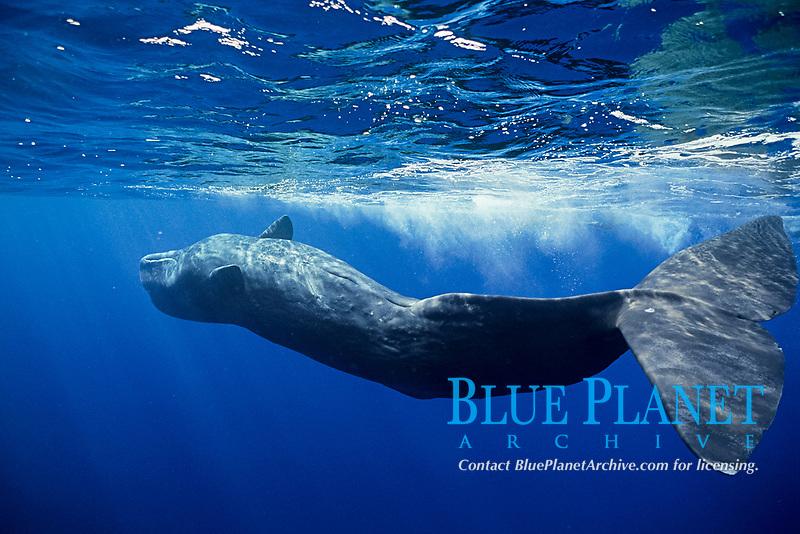 Sperm whale, Physeter macrocephalus, , Bonin Islands, Ogasawara, Tokyo, Japan, Pacific Ocean
