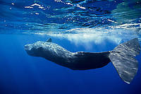 Sperm whale, Physeter macrocephalus, , Bonin Islands, Ogasawara, Tokyo, Japan, Pacific Ocean