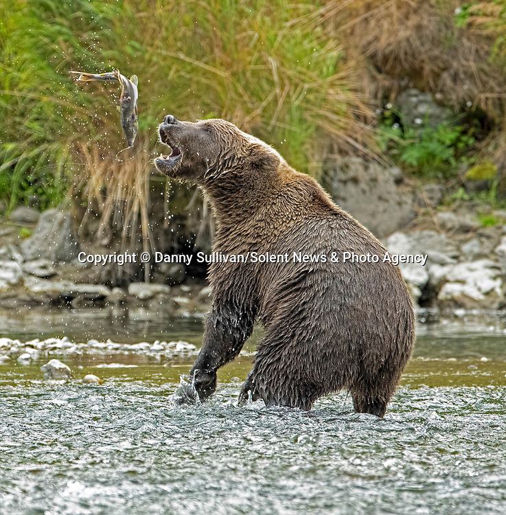 "The one that got away.<br /> <br /> A salmon has a miraculous escape from the jaws of a hungry brown bear in a river in remote Kodiak, Alaska.<br /> <br /> Danny Sullivan, 59, captured the moment the lucky fish was dropped by the bear.  Danny said, ""some bears chase salmon up the river, others eat the dying ones.  This bear decided to play with his food and the fish managed to escape after being dropped.""<br /> <br /> ""There is plenty of other salmon in the river, so he will find more to eat.""<br /> <br /> Please byline: Danny Sullivan/Solent News<br /> <br /> © Danny Sullivan/Solent News & Photo Agency<br /> UK +44 (0) 2380 458800"