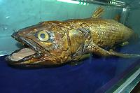 Coelacanth, Latimeria chalumnae, specimen originally captured in the Comoros Islands, East Africa in 1985, displayed in Seoul, South Korea