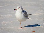 Gull standing on one leg.