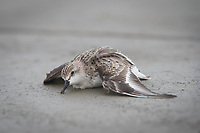 A long distance migrant Red-necked Stint lies dying behind the Saemangeum seawall, the largest land reclamation project in the world. Once the most important migratory stopover site in the Yellow Sea, the now stagnant and polluted mudflats kill thousands of birds. South Korea. October.