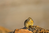 iAmerican pika (Ochotona princeps) calling.  Beartooth Mountains, Wyoming/Montana border.  Fall--with a little skiff of snow.  This photo was taken in alpine setting at around 11,000 feet (3350 meters) elevation.  Most Americans say PIE-ka, but the rest of the world says PEE-ka, and makes the case for PEE-ka because it is (obviously) onomatopoeic of the pika's call.  Pikas are vocal animals, and will use a sharp call or whistle to warn others of danger or to protect their territories from intrusion from other pikas.