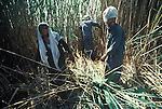 Marsh Arabs. Southern Iraq. Marsh Arab men cutting reeds. Haur al Mamar or Haur al-Hamar marsh collectively known now as Hammar marshes Irag 1984