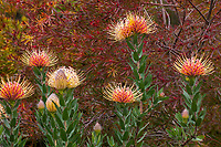 Leucospermum 'Spider' (Spider Pincushion) flowering South African shrub in University Of California Santa Cruz Arboretum And Botanic Garden