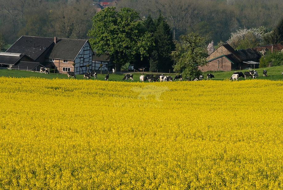 Koolzaad veld in het Geuldal, Limburg