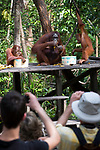 Female Bornean orang-utan (Pongo pygmaeus) with two infants on a feeding platform, watched by tourists, Camp Leakey, Tanjung Puting NP, Kalimantan, Borneo.