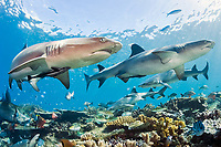Whitetip Reef Sharks, Triaenodon obesus, prowl the shallows of coral reef in Beqa Lagoon, Fiji, south Pacific Ocean