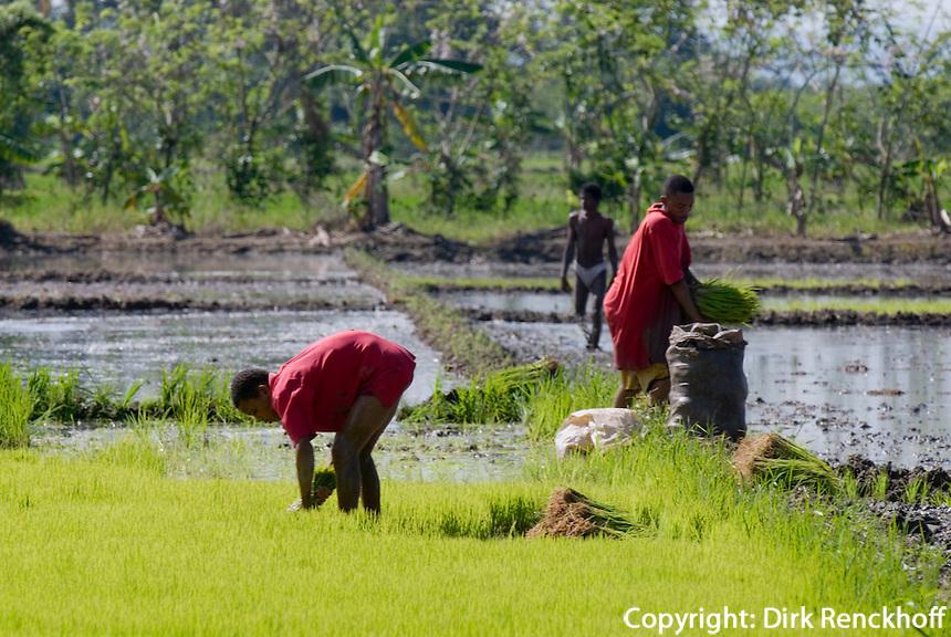 Dominikanische Republik, Reisfelder bei Nagua im Nordosten, Ernten der vorgezogenen Setzlinge