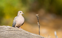 A Mourning Dove, Zenaida macroura, perches on a log in Dreamy Draw Park, part of the Phoenix Mountains Preserve near Phoenix, Arizona