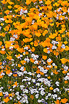 Sierra National Forest, CA<br /> Detail of California poppies and blue eyes along the Moss Creek Trail, Merced River Canyon