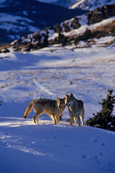Timber or Gray Wolf pair in Northern Rocky Mountains