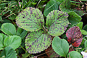 Strawberry leaf spot  causes purple spots to appear on theleaves of strawberry plants. It is caused by the fungus Mycosphaerella fragariae.