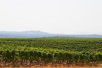 Rows of vine in the vineyard. One of their best vineyards with very poor soil on a hilltop mountain near Citluk and Zitomislic. Vinarija Citluk winery in Citluk near Mostar, part of Hercegovina Vino, Mostar. Federation Bosne i Hercegovine. Bosnia Herzegovina, Europe.